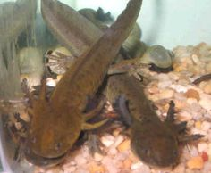 1000 images about mudpuppy aka waterdog on pinterest for Water dogs fish