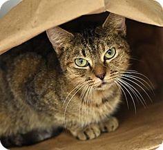 Philadelphia, PA - Domestic Shorthair. Meet Dingo, a cat for adoption. http://www.adoptapet.com/pet/14150871-philadelphia-pennsylvania-cat