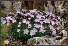 Mein kleines Alpinum - Ein Steingarten am Niederrhein - Dianthus lumnitzeri (Nelke) -hohe tatra