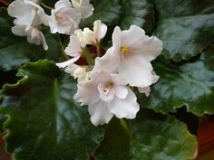 Fialka Hyacintho