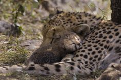 Cheetah (Acinonyx jubatus) six day old cub resting on mother in nest, Maasai Mara Reserve, Kenya by Suzi Esztherhas