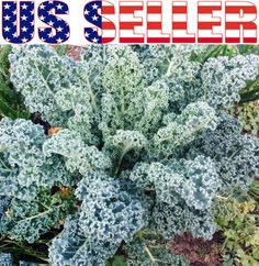 200-ORGANICALLY-GROWN-Kale-Dwarf-Blue-Curled-Vates-Seeds-Heirloom-NON-GMO