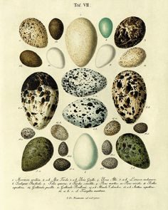 Lots more botanical & other vintage prints in the link. Vintage Bird Eggs Print Nature print Vintage by VictorianWallArt, $10.00