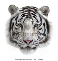 """""""Gesicht eines weißen Königstiger, auf weißem Hintergrund abgelegt. Maske der größten Katze. Wilde Schönheit des gefährlichsten und mächtigsten Tieres."""""""