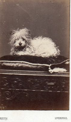 Antique Photograph CDV c1860s Small Toy Long Haired Dog Cushion Liverpool Studio