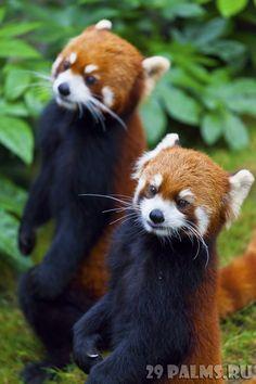 злая рыжая панда - Поиск в Google