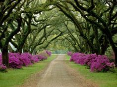 Tree-Lined Drive, Mississippi    Photograph by Sam Abell, National Geographic    Tree branches meet over a driveway lined with purple flowers in Vicksburg, Mississippi.