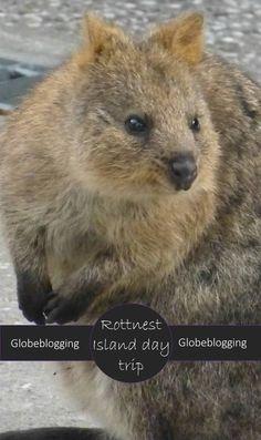 Where to see Quokkas; A Rottnest Island Day Trip ~ Globeblogging