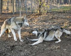 Tioga & Little Girl building a relationship Wolf Sanctuary, Lititz Pa