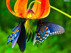 Animals for Gt Real Blue Butterfly Wallpaper Butterfly Kisses, Butterfly Flowers, Blue Butterfly, Flying Flowers, Morpho Butterfly, Butterfly Wings, Butterfly Food, Butterfly Chrysalis, Mariposa Butterfly