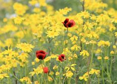 prettylittleflower:    red among the yellow (by kyuen13)