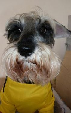 All time faves! | A community of Schnauzer lovers!  I'm sure it wasn't me that did that.  No, no, I couldn't, wouldn't even think of that.  Moi?  No!