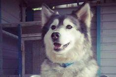 malamute smiling