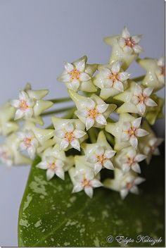 Hoya  parasitica Lao