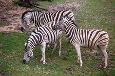 photo of three zebras grazing on pasture