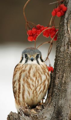 The American Kestrel, sometimes colloquially known as the Sparrow Hawk, is a small falcon, and the only kestrel found in the Americas. It is the most common falcon in North America, and is found in a wide variety of habitats