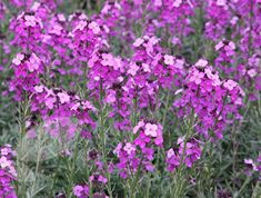 Buy wallflower Erysimum 'Bowles's Mauve': Delivery by Crocus