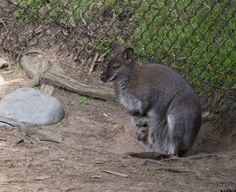 """""""Hello world"""" -- Baby wallaby pokes his head out for first time!"""