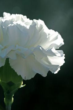 Carnation Closeup...I love the fragrance and beauty of the old fashioned white carnation