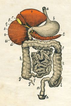 Illustration from an anatomy text circa 1860, digestive organs