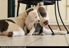 Pit bulls so often get a bad rap, and unfairly, but this mother and daughter pair cuddling should help dispel the myth. I Love Dogs, Puppy Love, Cute Dogs, American Pitbull, Pit Bulls, Pitbull Terrier, Bull Terriers, Baby Dogs, Gatos