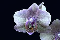 Orchid blossom on black background