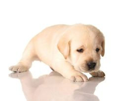 """I'm so lonely...will you be my friend?"" Click on this image to find more pinnable #Lab #puppy pictures"