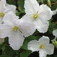 Clematis 'Prince George' - Climbing Plants - Van Meuwen