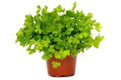 Aprenda a cultivar salsa corretamente. Asalsa,salsinhaouperrexilé uma planta herbácea bienal, podendo-se também cultivar como anual. Nativa da região mediterrânica central, naturalizadaem toda aEuropae amplamente cultiva…