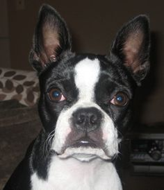 boston terrier puppies | Boston Terrier Information and Pictures, Boston Terriers