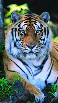 Symbolically adopt a tiger from Defenders Gift Center. Defenders of Wildlife's adoption kits make the perfect gift! Adopt a tiger today and help support our work to save imperiled species. Big Cats, Cats And Kittens, Cute Cats, Animals And Pets, Nature Animals, Cute Animals, Strange Animals, Tiger Pictures, Animal Pictures