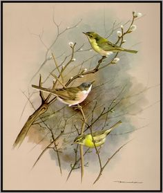 "Basil Ede-""Birds of Town and Village"""