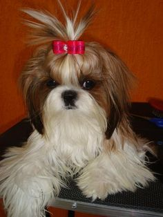 Shih Tzu   -  Ok people....still want one. Who wants to get me a puppy???!!  Anyone? Anyone??