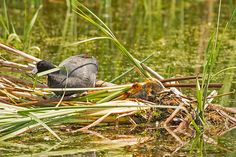 An American coot build's a nest in Horicon Marsh, Wisconsin.