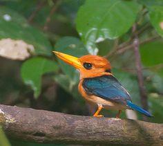 Yellow-billed Kingfisher - New Guinea & adjacent islands, to N. Cape York Peninsula, Australia