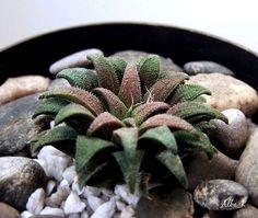 haworthia parksiana