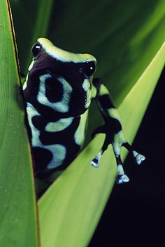 »✿❤Love Frogs!❤✿« Green and Black Poison Frog, Costa Rica