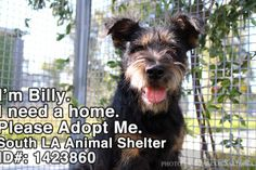 This is Billy. I met him at the South LA Animal Shelter yesterday afternoon. Billy was a little shy coming out of his kennel but once in the play yard he shined like a star. This 1 year old terrier mix is waiting to be adopted and taken away to his forever home.