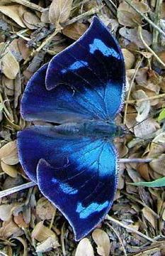 Butterfly Kisses, Butterfly Flowers, Blue Butterfly, Butterfly Wings, Beautiful Bugs, Beautiful Butterflies, Amazing Nature, Beautiful Creatures, Animals Beautiful