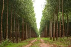 BioOrbis: Silvicultura de Eucalipto