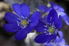 vilda blommor i sverige
