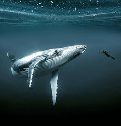 Snorkeling with a Humpback whale has always been one of my dreams. When this whale (approx. long) swam past me I felt it really looked at me, an amazing unforgettable moment! Underwater Photos, Underwater Photography, Animal Photography, Travel Photography, Portrait Photography, Under The Water, Orcas, Baleen Whales, Photo Animaliere
