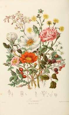 """Roses, """"The Rose Tribe"""" ~ Illustrations of the natural orders of plants with groups and descriptions, 1868."""