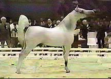 *CARMARGUE    (White Lightning x Velvet Shadow) Photo © Gari Dill-Marlow Arabian Horse Breeders Network