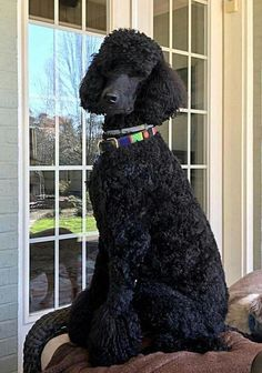 "Learn even more info on ""poodle puppies"". Look into our internet site. Black Standard Poodle, Standard Poodles, Pet Dogs, Dog Cat, Doggies, Weiner Dogs, Poodle Cuts, Poodle Grooming, Dog Grooming"