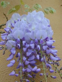 I LoVe wisteria...it smells heavenly!!