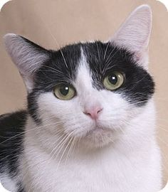 Chicago, IL - Domestic Shorthair. Meet Millicent, a cat for adoption. http://www.adoptapet.com/pet/15136825-chicago-illinois-cat