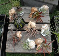 Air Plants In Shells Plants Air plants in shells