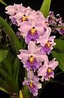Care of the Phalaenopsis Orchid   Everything Orchids