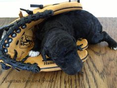 Lucky ready to play ball! Lucky is a standard poodle puppy. Here he is1 week old.